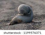 antarctic fur seal  deception... | Shutterstock . vector #1199576371