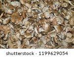 field champignons. edible...   Shutterstock . vector #1199629054