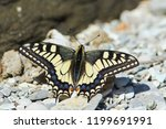 Butterfly Papilio Machaon  Old...