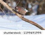 eurasian jay  garrulus...   Shutterstock . vector #1199691994