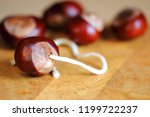 Stringing Conkers Ready For A...