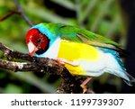 the gouldian finch  erythrura... | Shutterstock . vector #1199739307