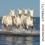 white camargue horses galloping ...   Shutterstock . vector #1199851771
