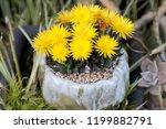 beautiful yellow flowering...   Shutterstock . vector #1199882791