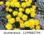 beautiful yellow flowering...   Shutterstock . vector #1199882794