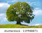 Single Beech Tree In Summer