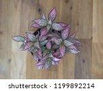 "fittonia  ""nerve plant"" ... | Shutterstock . vector #1199892214"