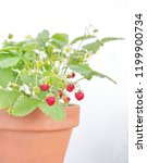 strawberry plant  with fruits... | Shutterstock . vector #1199900734