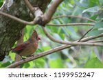 female northern cardinal... | Shutterstock . vector #1199952247
