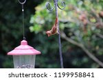 female northern cardinal... | Shutterstock . vector #1199958841