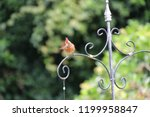 female northern cardinal... | Shutterstock . vector #1199958847