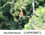 female northern cardinal... | Shutterstock . vector #1199958871