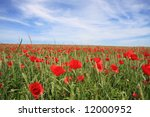 A beautiful landscape with red poppy on a wheat field - stock photo