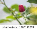 red rose flower close up | Shutterstock . vector #1200192874