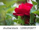 red rose flower close up | Shutterstock . vector #1200192877