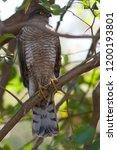 eurasian sparrowhawk  accipiter ...   Shutterstock . vector #1200193801
