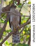 eurasian sparrowhawk  accipiter ...   Shutterstock . vector #1200193804