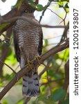eurasian sparrowhawk  accipiter ...   Shutterstock . vector #1200193807