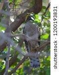 eurasian sparrowhawk  accipiter ...   Shutterstock . vector #1200193831