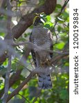 eurasian sparrowhawk  accipiter ...   Shutterstock . vector #1200193834