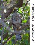 eurasian sparrowhawk  accipiter ...   Shutterstock . vector #1200193837