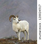 Dandy Dall - Dall sheep. Savage River, Denali National Park, Alaska