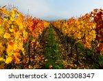 october vineyard landscape ... | Shutterstock . vector #1200308347