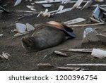 antarctic fur seal  deception... | Shutterstock . vector #1200396754