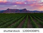 Young Cotton Fields At Sunset...