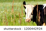 black and white cow on a grassy ... | Shutterstock . vector #1200442924