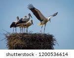 Stork Family In Large Nest Hom...