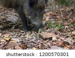 wild boar  sus scrofa  digs... | Shutterstock . vector #1200570301