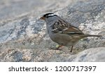 a white crowned sparrow ... | Shutterstock . vector #1200717397