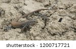 a western whiptail ... | Shutterstock . vector #1200717721