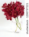 Red mokara hibrids orchid in...