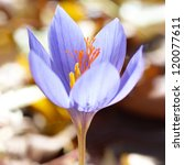 Blue Flower Crocus Ligusticus ...