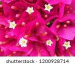 Pink Bougainvillea Flowers....
