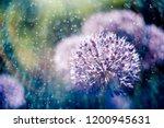 macro photo of alium flowers...