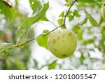 green apples on a branch ready... | Shutterstock . vector #1201005547