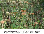 clump of lion's mane flowers in ... | Shutterstock . vector #1201012504