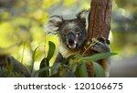 Koala On A Tree With Bush Gree...