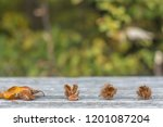 beech fruits and beech leaves... | Shutterstock . vector #1201087204