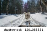 sledge dogs are pulling the... | Shutterstock . vector #1201088851