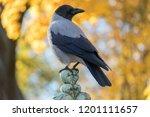 The Hooded Crow  Corvus Cornix  ...
