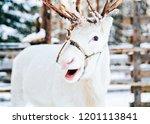 white reindeer at finland in... | Shutterstock . vector #1201113841