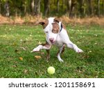a playful red and white pit... | Shutterstock . vector #1201158691