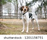 Stock photo a treeing walker coonhound dog outdoors 1201158751