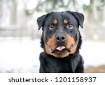 Stock photo a purebred rottweiler dog with a funny expression sticking its tongue out 1201158937