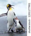 Royal penguin  eudyptes...