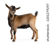 Brown Agouti Pygmy Goat...